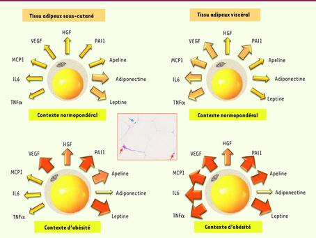 La fonction sécrétrice du tissu adipeux : implication dans les complications