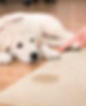 apcc dog pee_edited.png