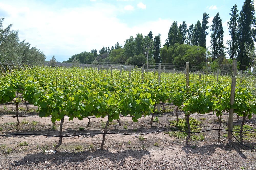 Parreiras de uvas