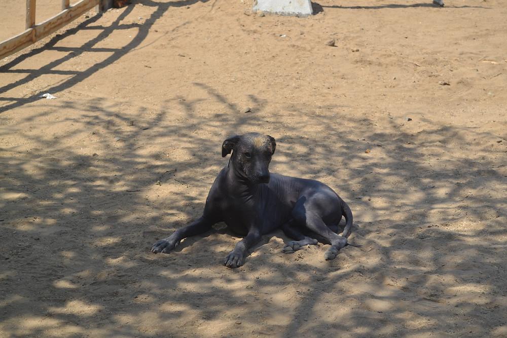 Cão peruano