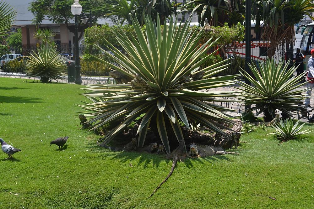 Iguanas no Parque das iguanas