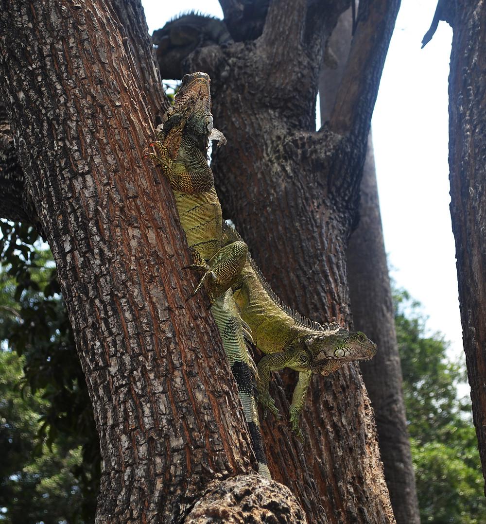 Iguanas em um tronco de árvore
