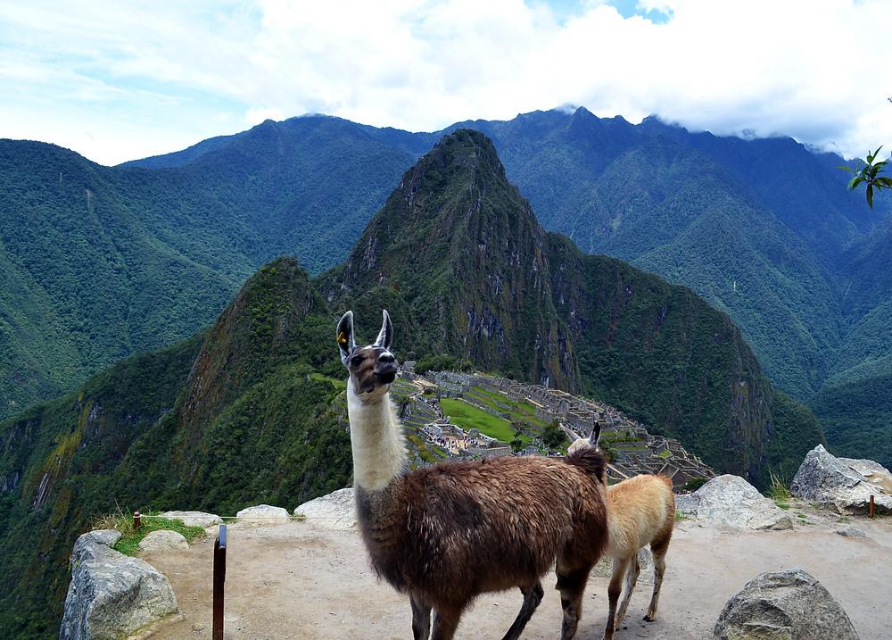Lhamas - Machu Picchu