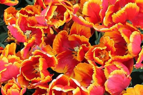Orange Tulips Note Cards