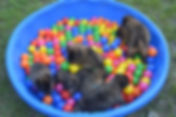 Puppies in Ball Pit.jpg