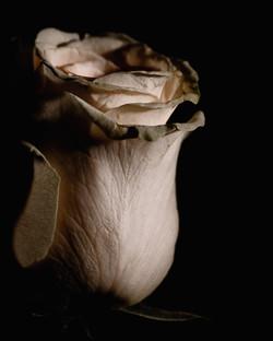 Rose#1