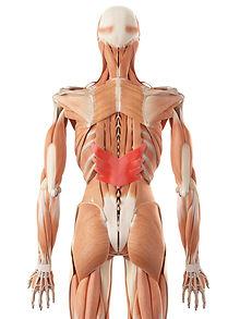 Rücken Muskeln zweite Schicht