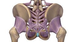 Becken Bänder und Sehnen hinten