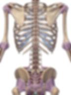 Rücken Bänder und Sehnen