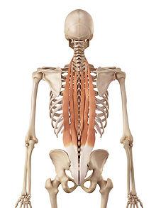 Rücken Muskeln erste Schicht