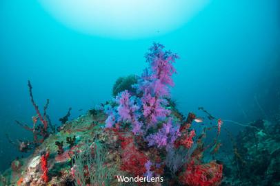 ปะการังอ่อนที่เกาะสันฉลาม