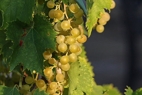 Raisins Italia
