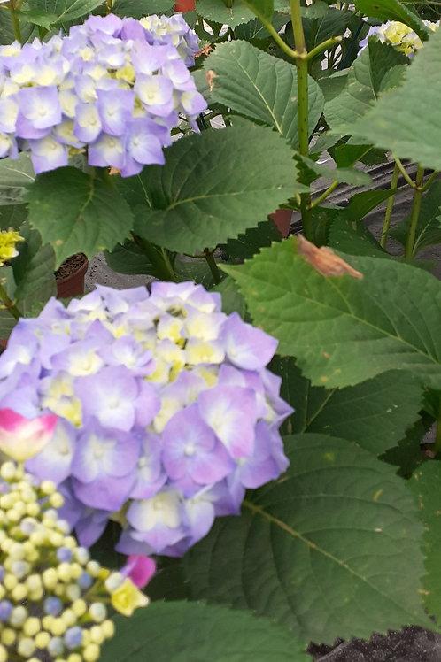Hortensia bleu (blanc ou rose )