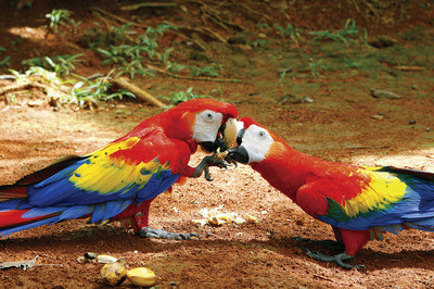 Costa-Rican-wildlife-is-a-kaleidoscope-of-color-thumb-400x266-25521.jpg