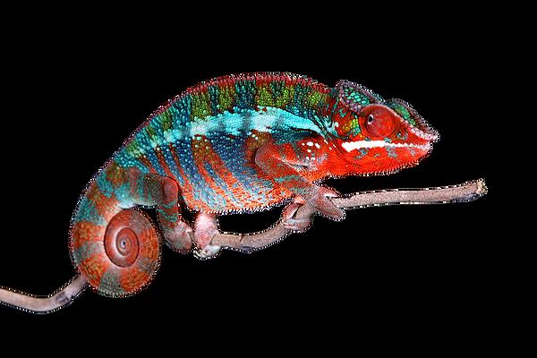 Chameleon-full body.png