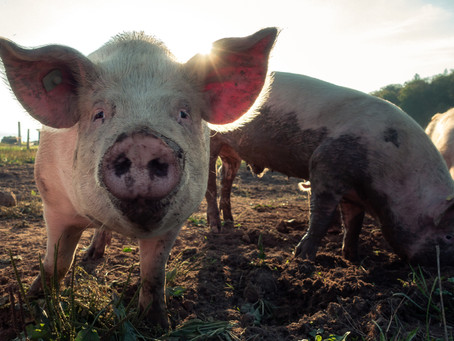 The Year of the 'Earth Pig'