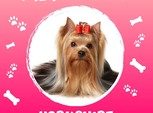 Você conhece o Yorkshire Terrier?