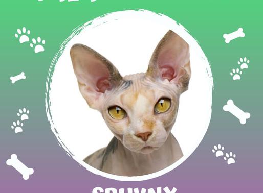 Gatinhos da raça Sphynx, você conhece?