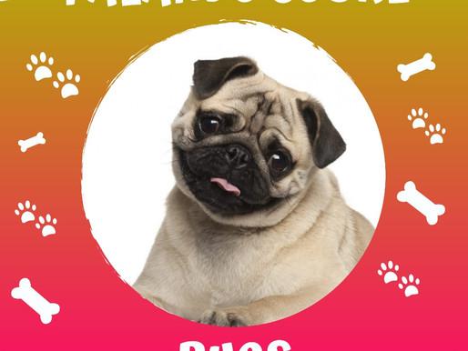 Amigáveis e amorosos - Nós amamos os Pugs