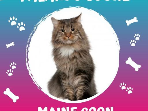 Maine Coon, uma das maiores raças de gato.