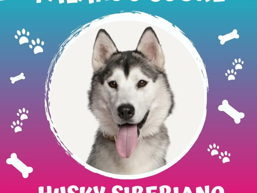 Husky Siberiano, verdadeiros heróis.