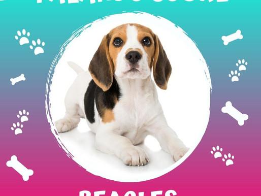 Beagles, alegres e divertidos!