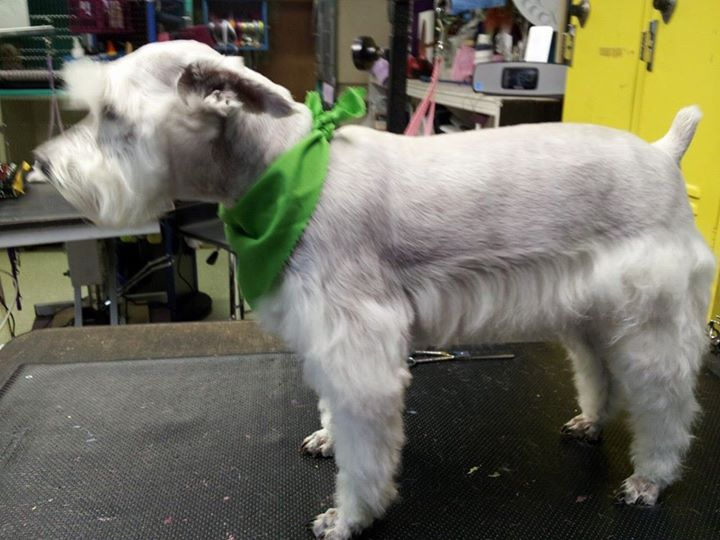 Cozmo in his summer cut .jpg Mom and dad like short legs, skirt and face