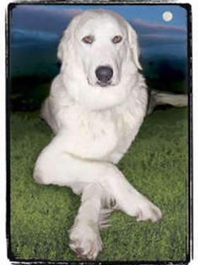 Pyrenesee or/ Large dog