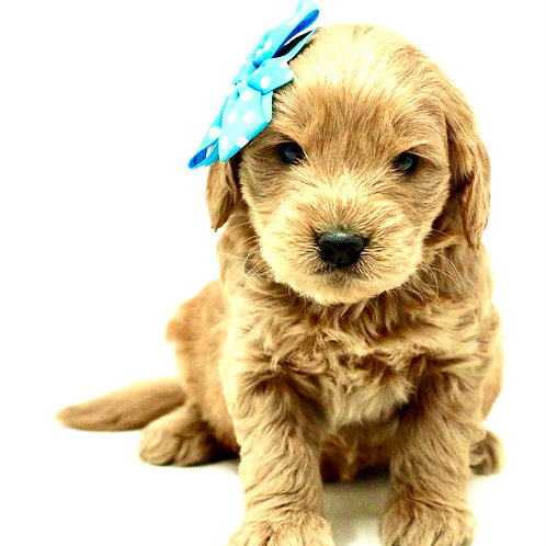 english mini goldendoodle california for sale near me