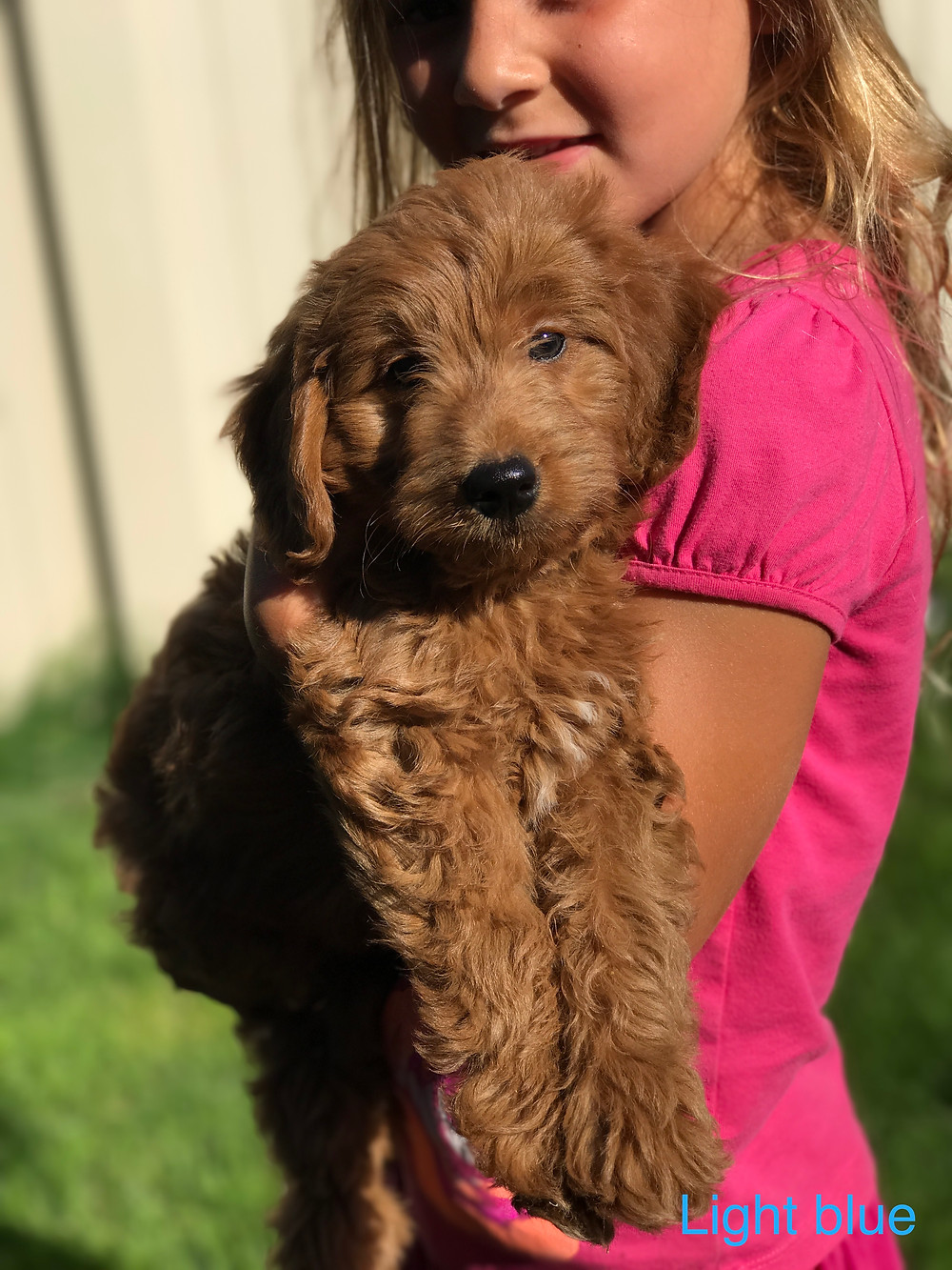 f1 mini goldendoodle idaho for sale, dogs walking on hot pavement