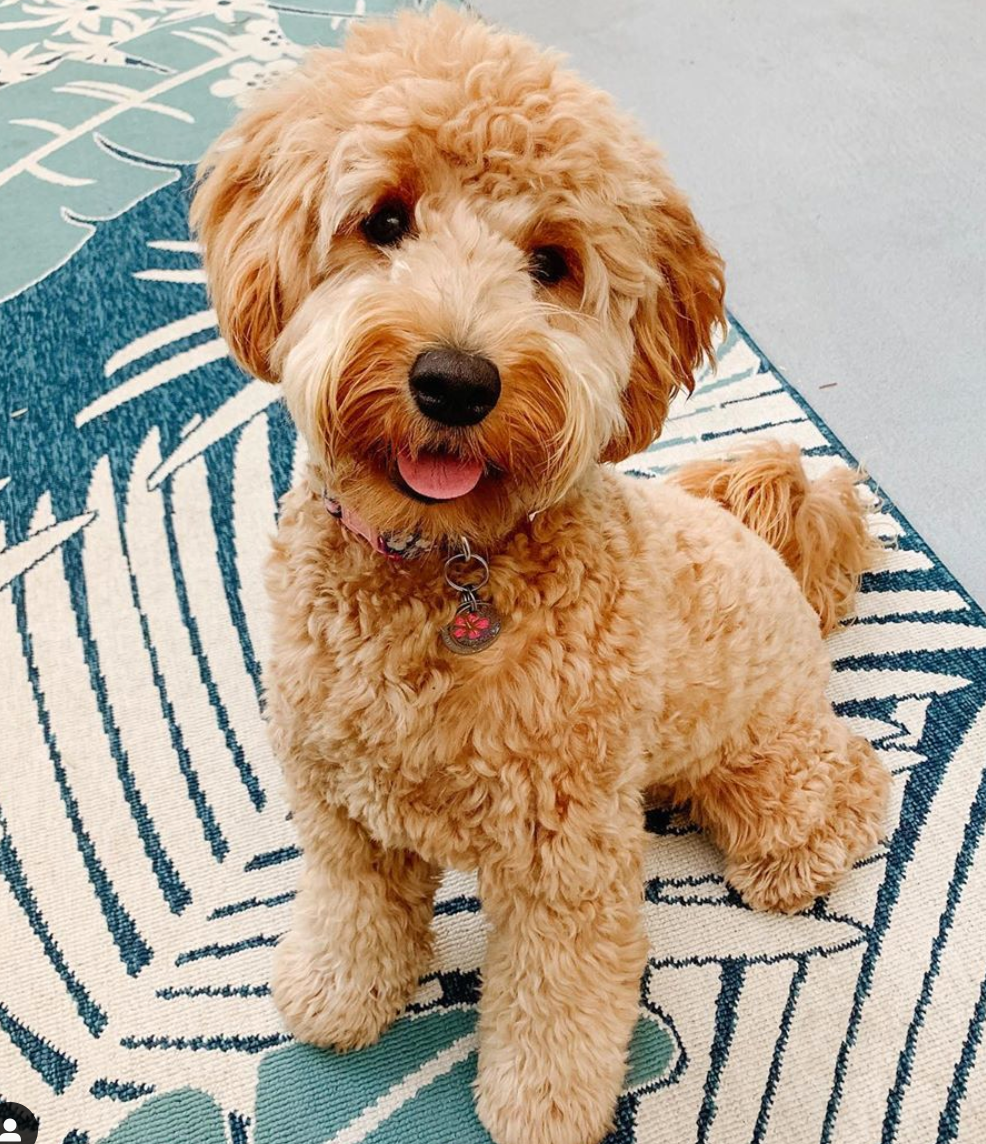 Therapy Dogs vs Goldendoodle Dogs