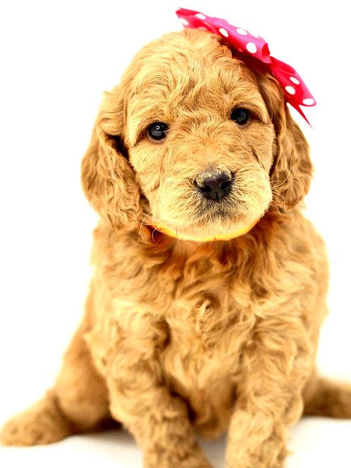california mini goldendoodle puppies for sale near me