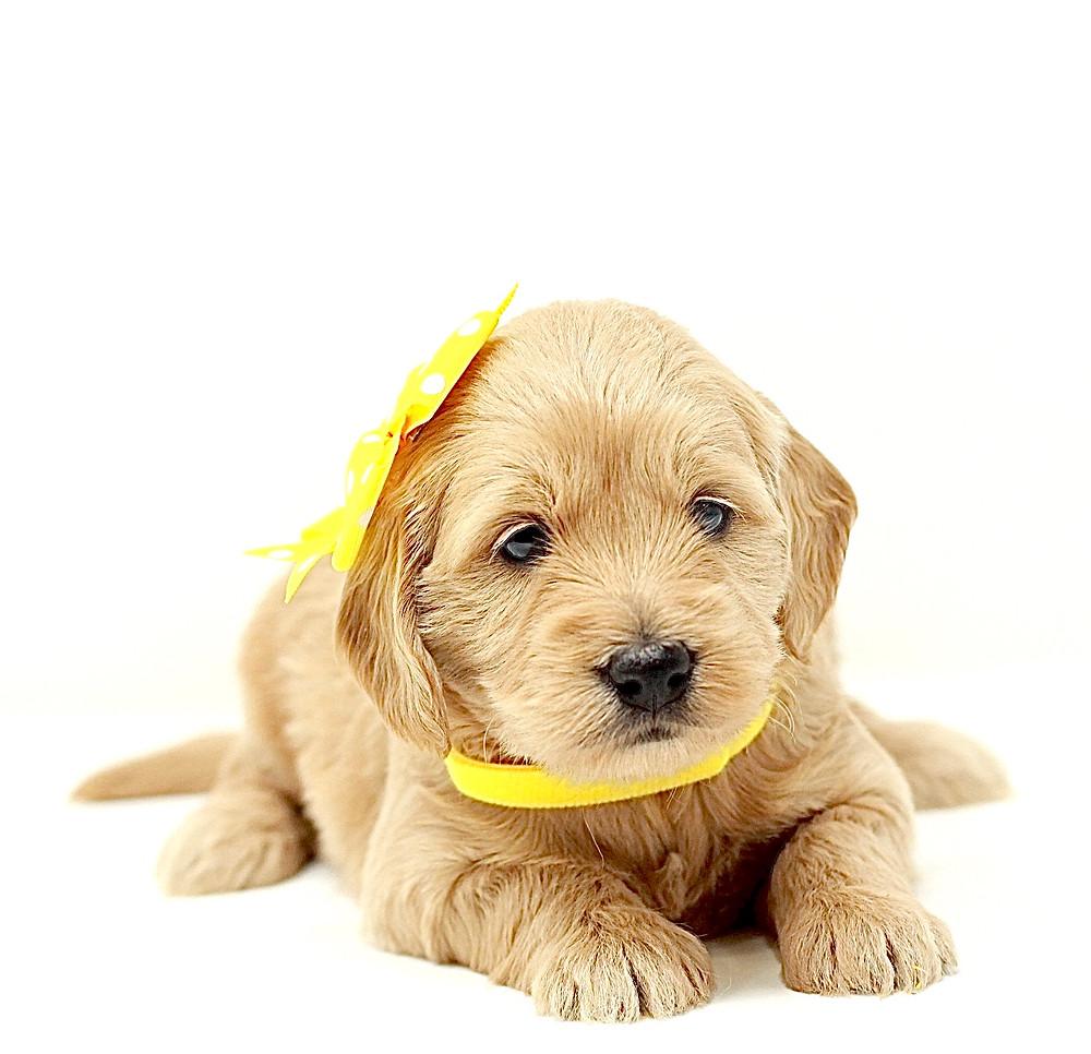 mini goldendoodle puppy california seattle phoenix texas colorado