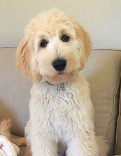 english teddybear goldendoodle california