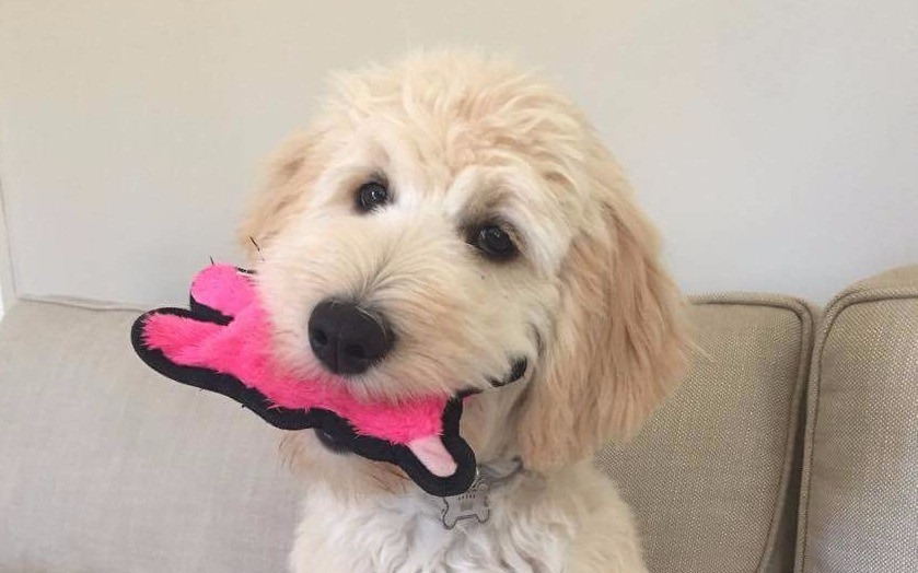 goldendoodle puppies for sale california