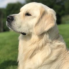 english cream golden retriever puppies idaho