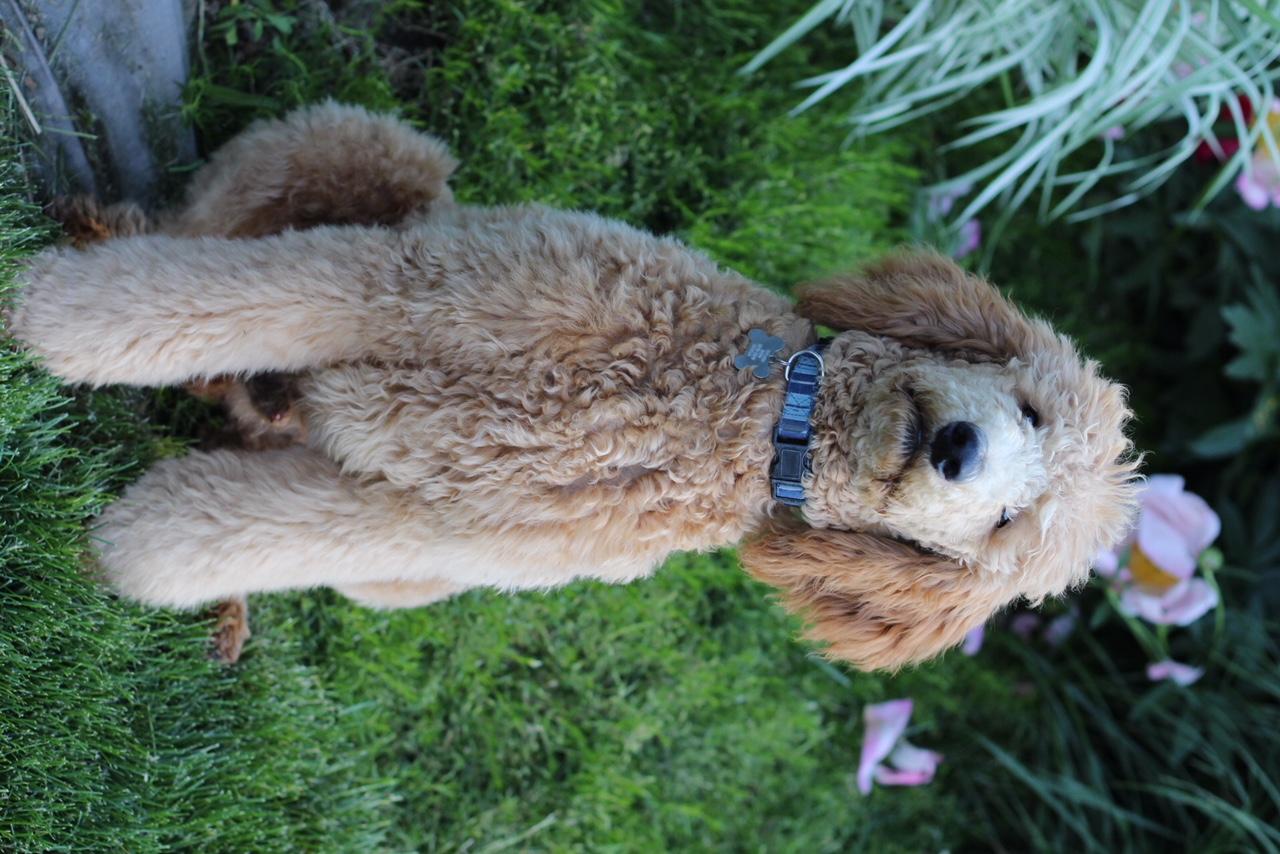 mini goldendoodle california