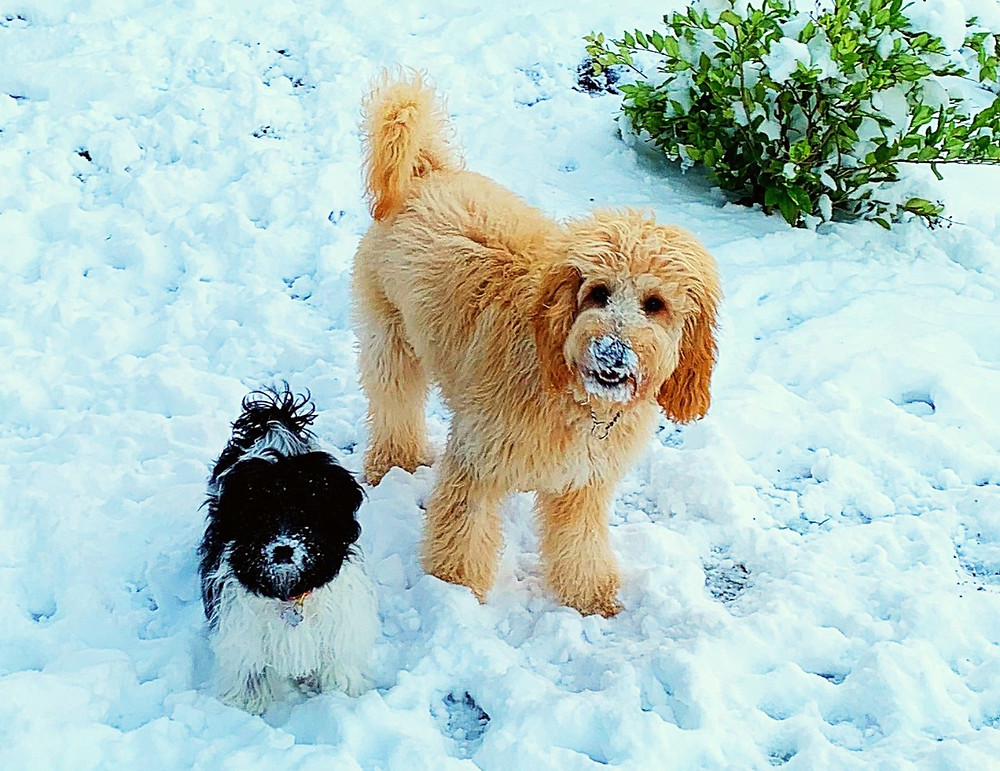 Goldendoodle Puppies and Dogs in the Snow