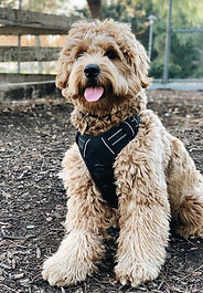 english teddybear goldendoodle california%20Shot%202020-01-27%20at%202.28_e