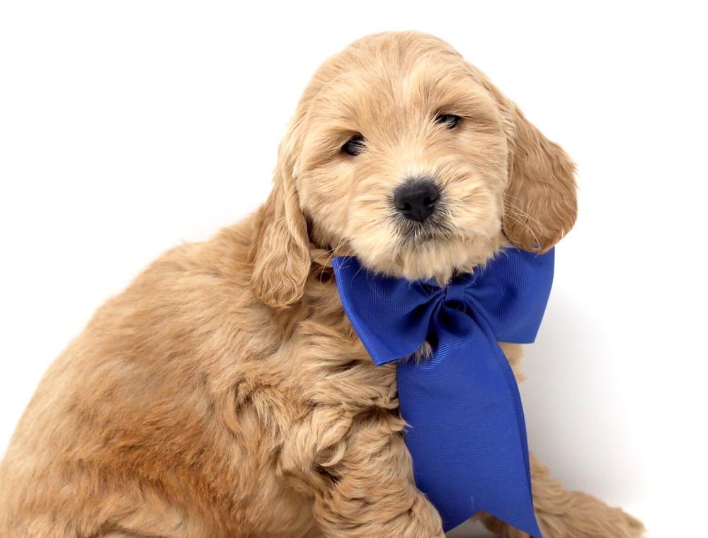 Potty Training Tips For Mini English Teddybear Goldendoodles