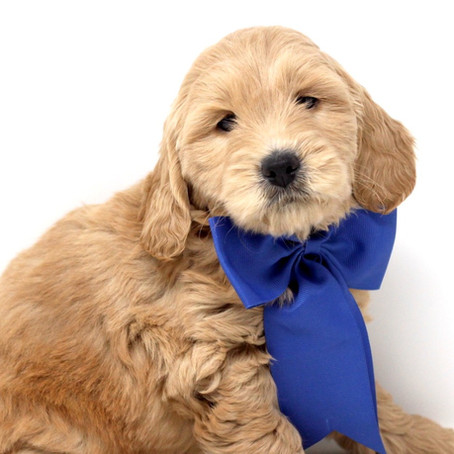 Potty Training Tips For Mini English Teddybear Goldendoodles!