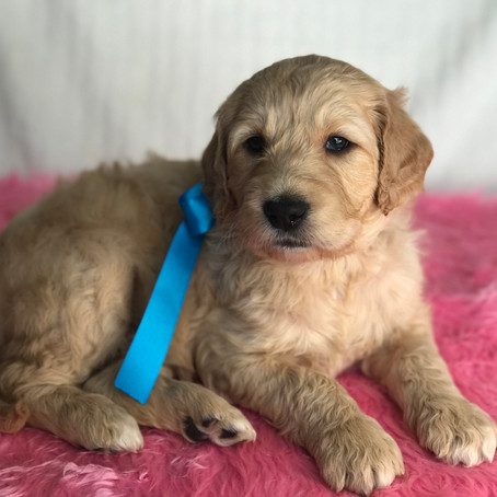 Do we ship our mini goldendoodle puppies?