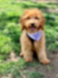 goldendoodle boise idaho puppies