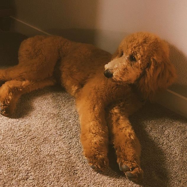 27-8-18-5452.jpggoldendoodle california mini ted