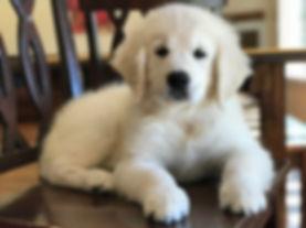 english cream golden retriever puppies pittsburgh pennsylvania for sale