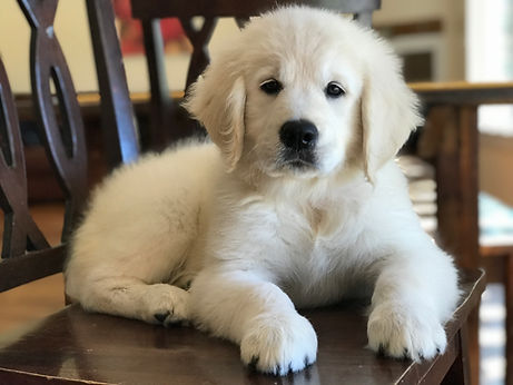 english cream golden retriever puppies pittsburgh pennsylvania for sale