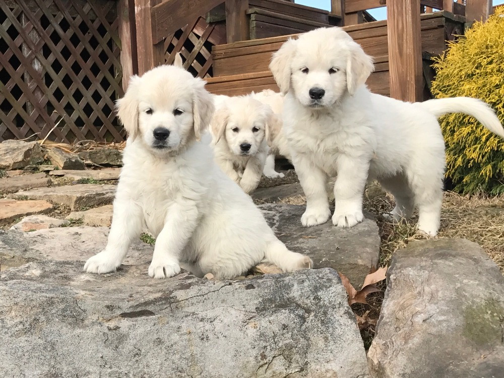 Ailment For Goldendoodle and Golden Retriever Puppies
