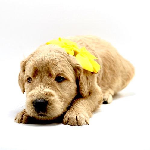 english mini goldendoodle california for sale near me