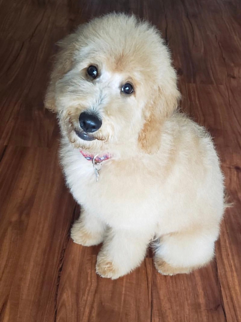 Is a Goldendoodle a Good Family Dog To Raise
