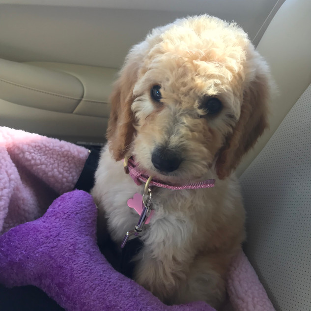 goldendoodle california mini ted